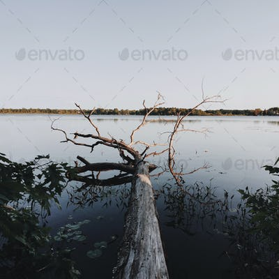 Fallen tree on a lake at dusk
