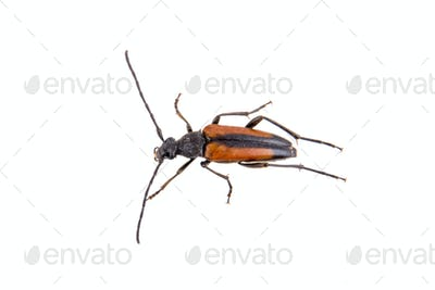 Black brown bug on a white background