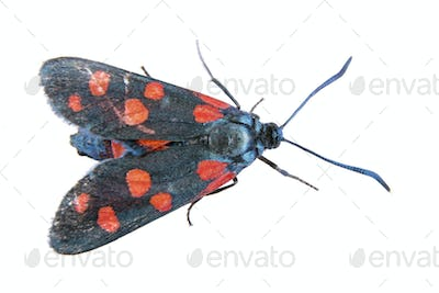 Black butterfly with red dots on the white background
