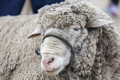 Portrait of white lamb at the Otavalo Animal Market, Ecuador
