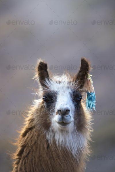 Portrait of beautiful Llama, Argentina