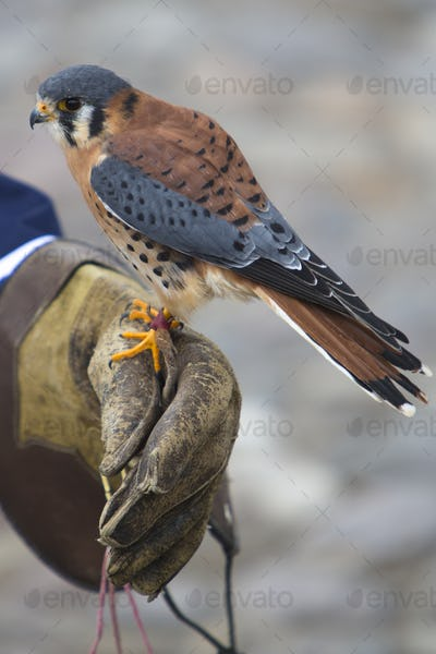 American Kestrel at a bird sanctuary near Otavalo, Ecuador