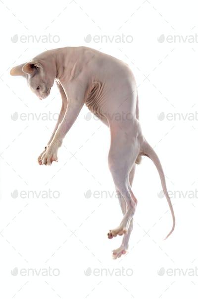 playing Sphynx Hairless Cat