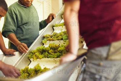 Hands sorting grapes for wine in winery