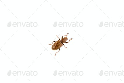Brown beetle on the white background