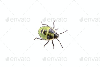 Black green beetle on the white background
