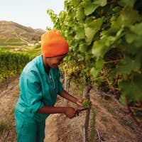 Grape picker working in vineyard