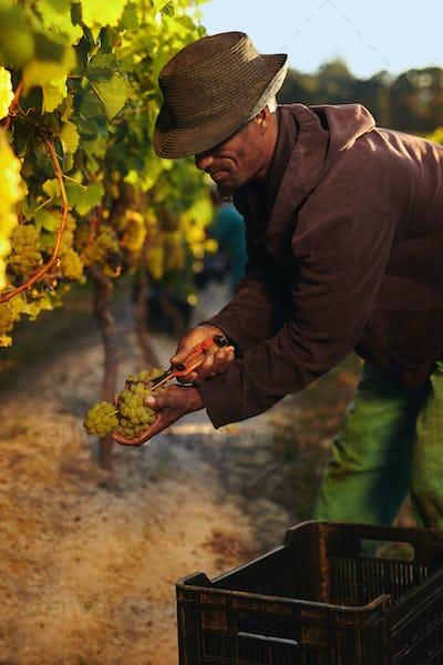 Man cutting green grapes in vineyard