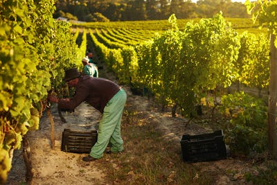 Worker harvesting grapes for wine