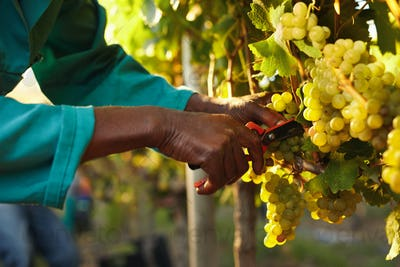 Harvester hands cutting green grapes on a vineyard