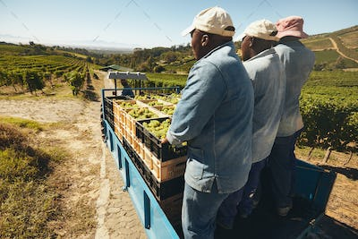 Transporting grapes from vineyard to winery