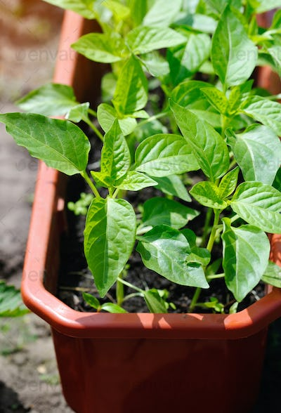 Pepper seedling in the pot before planting