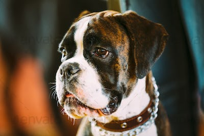 Beautiful Brown And White Boxer Dog
