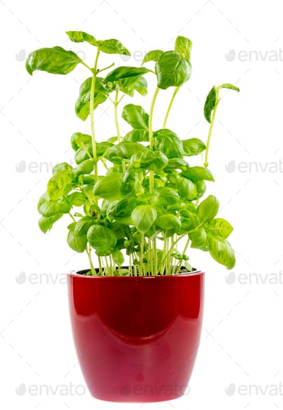 Isolated basil plant in a ceramic pot