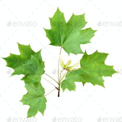 Green maple branch