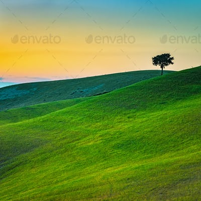 Tuscany, lonely tree and green fields on sunset. Volterra, Pisa,