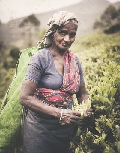 Tea Picker Picks Leaves As She Looks At The Camera Concept