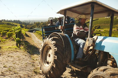 Vineyard worker transporting grapes to wine factory