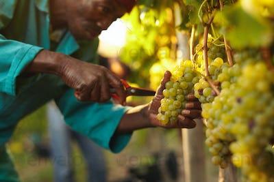 Worker harvesting grapes in vineyard