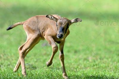 Baby gemsbok