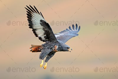 Jackal buzzard in flight