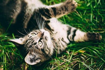 Playful Cute Tabby Gray Cat Kitten Pussycat Play In Grass Outdoo