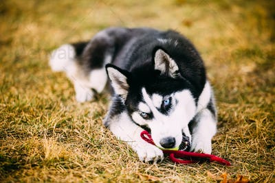 Young Dog Husky Puppy Plays With Toy Tennis Ball Outdoor