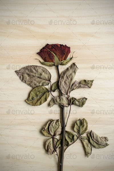 Single dried rose flower isolated on wood