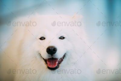 Happy White Samoyed Dog Puppy Close Up Portrait