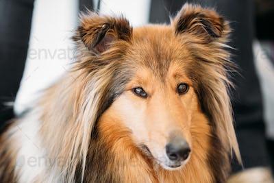 Close up portrait of Shetland Sheepdog, Sheltie, Collie dog
