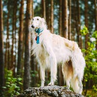 White Russian Borzoi, Hunting Dog standing on a rock in summer f