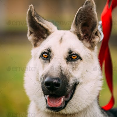 Close up portrait of young Happy East European Shepherd dog