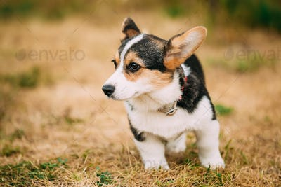 Close up portrait of young Happy puppy Welsh Corgi dog