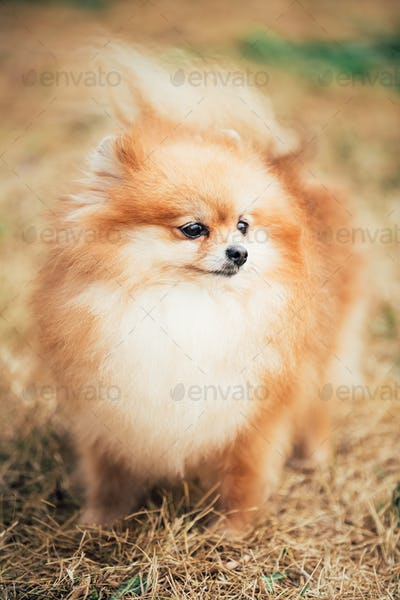 Portrait of Red Pomeranian Spitz  Small Dog