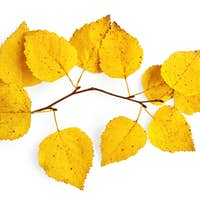 Sprig of birch with yellow leaves