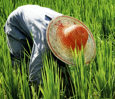 Farmer Harvesting Rice Nature Asian Culture Concept