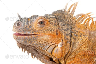 Portrait of iguana close-up.