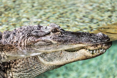 Crocodile lying at the zoo