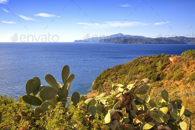 Elba island, cactus indian fig opuntia, coast view Capoliveri Tu