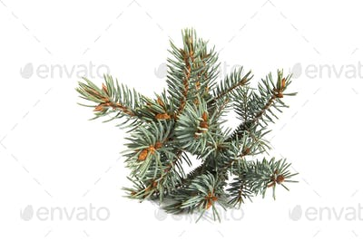 The branch of blue spruce.