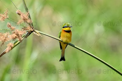 Bee-eater on flower