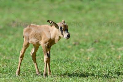 Baby gemsbok on grass