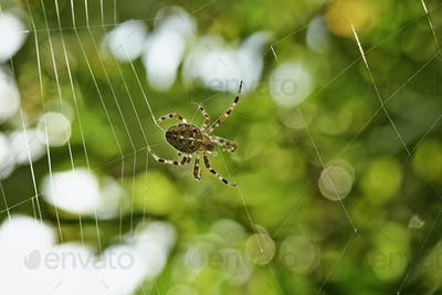 Spider spinning its web.