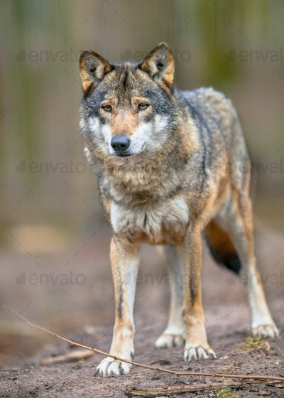 Full body image of a  Grey Wolf