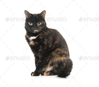 Beautiful graceful cat sits on a white background.