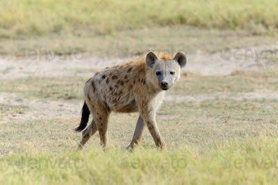 Hyena in National park of Kenya