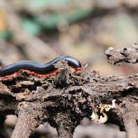 Close millipede on branch