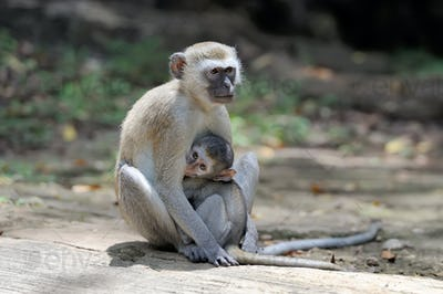 Two vervet monkey on a stone