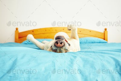 Dog is lying on the bed