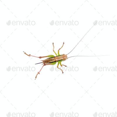 Green brown grasshopper on a white background